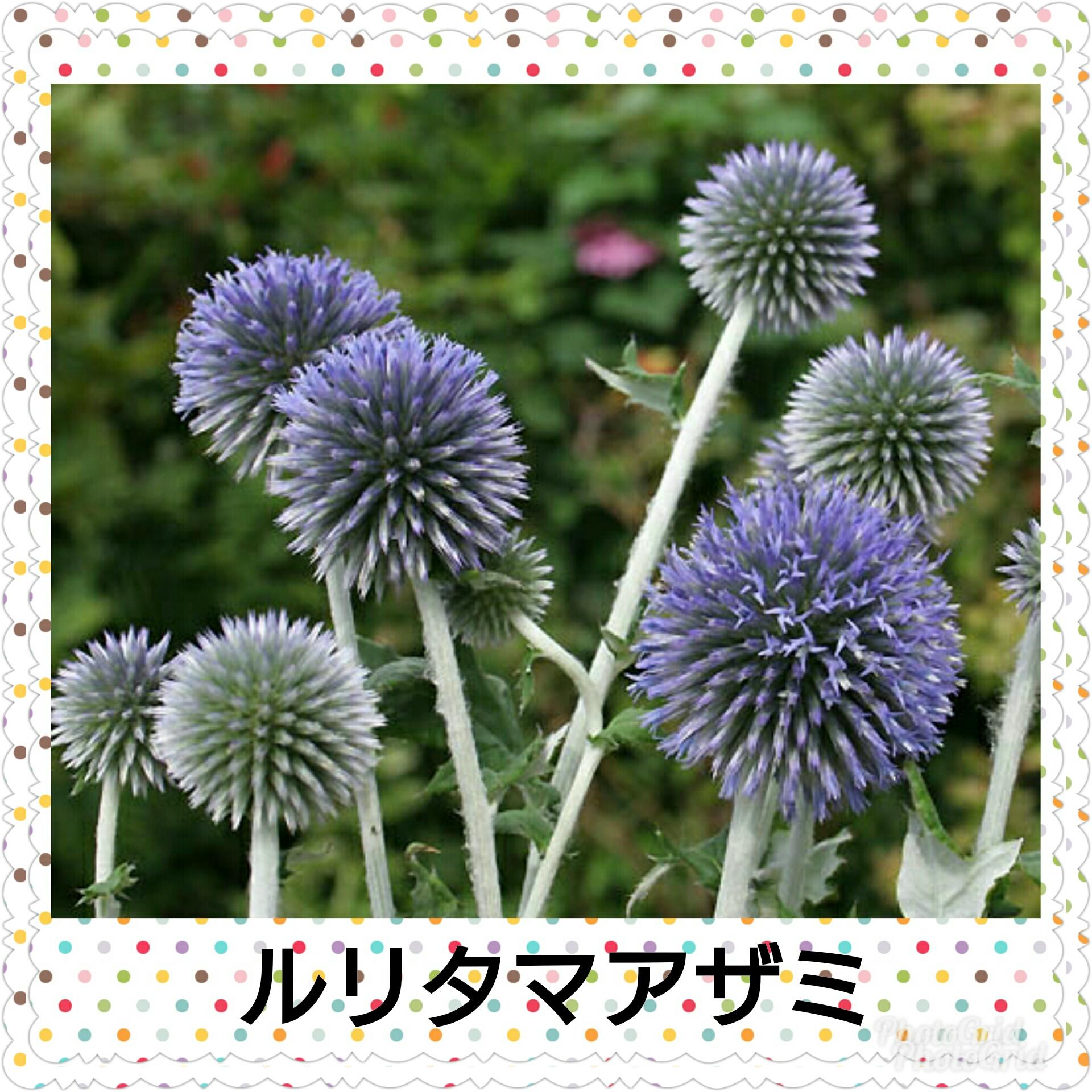 ルリタマアザミのお花(中央葬祭社)